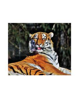 商品Tiger Sticking its Tounge Out图片